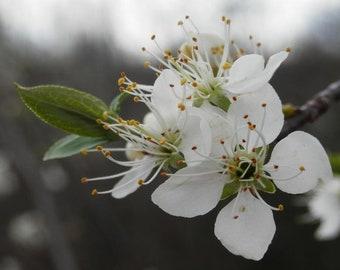 Wild Plum Blossom Hydrosol