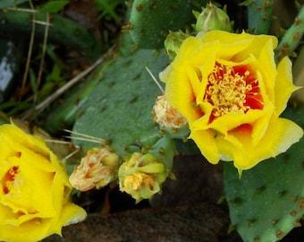 Optunia prickly pear cactus pad