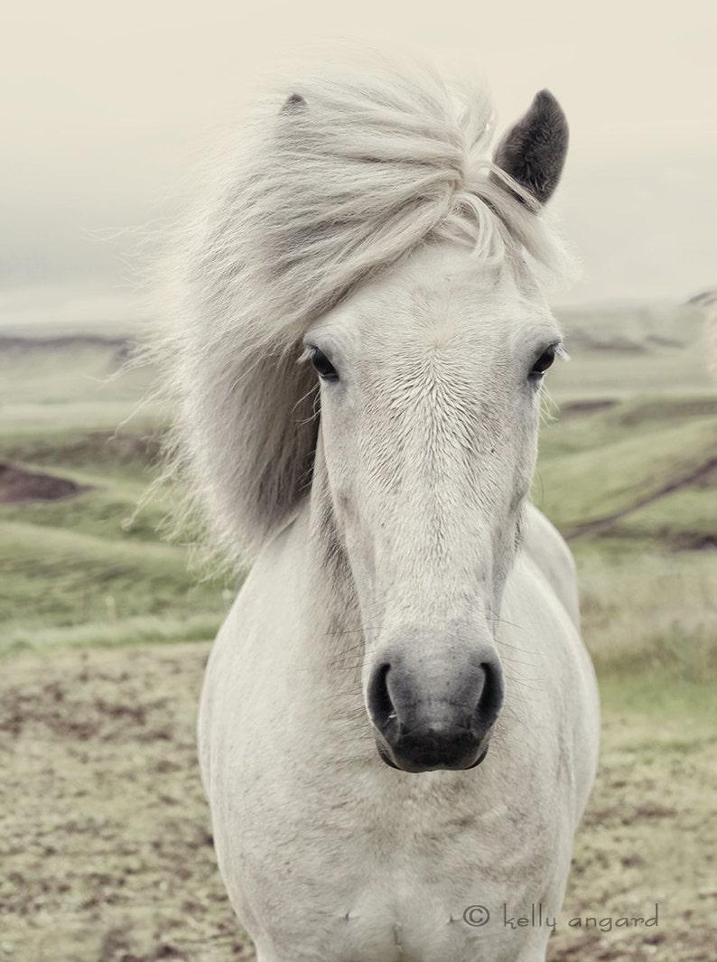 Horse Photograph white horse photography portrait Icelandic image 0