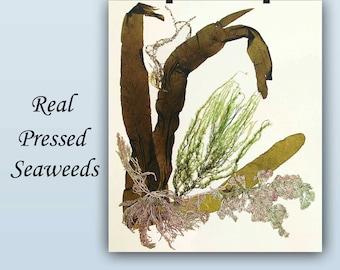 Original Pressed Seaweed Art, Nautical Decor Ideas, Sailing Decor, LP154