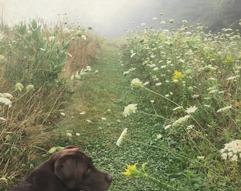 Chocolate lab walk in Queen Anne's Lace