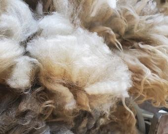 Whole Raw Icelandic Fleece Beautiful!