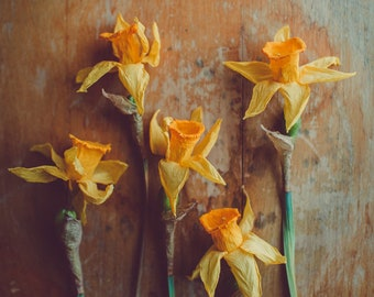 Fine Art Print, Daffodil Photograph, Floral Art, Yellow, Spring Art, Flower Photo, April, Nature Art, Still Life Flower Art, Botanical Print