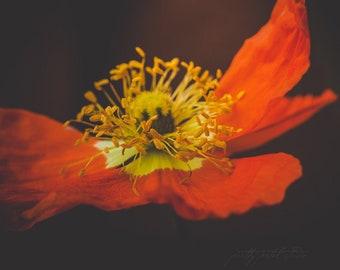 Fine Art Print, Poppy Flower Print, Macro Flower Art, Flower Art, Orange Poppy, Floral Decor, Botanical Print, Plant Art, Iceland Poppy Art