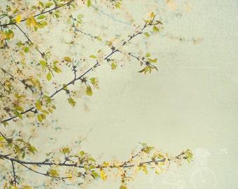 Fine Art Photograph, Cherry Blossoms, Branches, Floral Art, Pastel, Sage, Flower Photo, April, Nature Art, Cottage Chic Art, Square Print