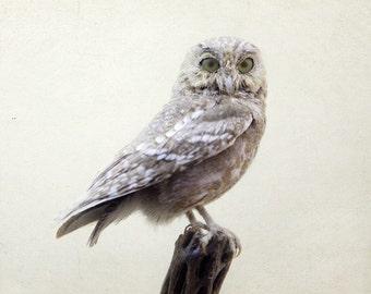 White Owl Print, Minimalist Bird Photography, Nature Photography, Modern Rustic, White Wall Decor, Dorm Decor - Intelligent Design