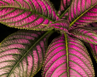 """Persian Shield Plant Leaf Photo, Pink Botanical Print, Nature Photography, Tropical Print, Pink Wall Art, Tropical Decor """"The Diva"""""""