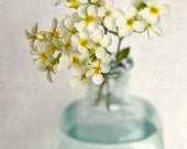 Yellow Rock Cress, 7x7 Still Life Print - Free Shipping