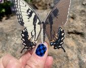 "Eastern Swallowtail (Papilio glaucus) Gynandromorph 2.75"" x 3"" Clear Sicker"