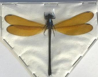 Gold Damselfly, Real Dragonfly Euphaea lara