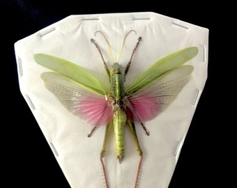 OVERSTOCK: Colorful Grasshopper, real Chondracris rosea males