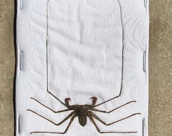 OVERSTOCK: Stygophrynus dammermani, real Whip Scorpion