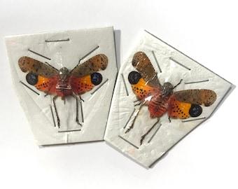 OVERSTOCK: spread Penthicodes pulchella, Lanternflies 2-pack