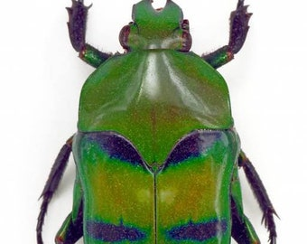 Green & Blue Flower Beetle Ischiopsopha bifasciata Real Insect