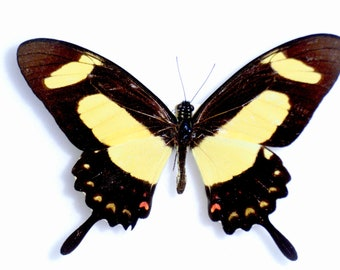 Real Papilio torquatus Butterfly, Spread or laminated