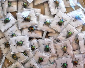 Real Tiny Metallic Green Beetles, Platycorynus nitidus, 5 pack