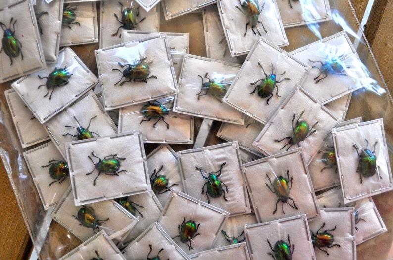 Real Tiny Metallic Green Beetles Platycorynus nitidus 5 pack image 0