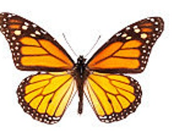 Real Monarch Butterfly, for your project Danaus plexippus