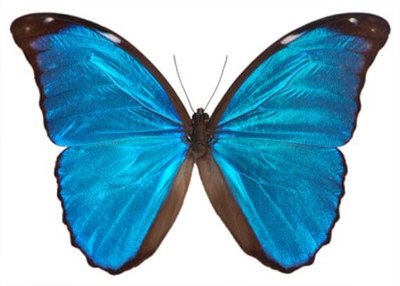 Real Blue Morpho Butterfly Morpho Didius Etsy