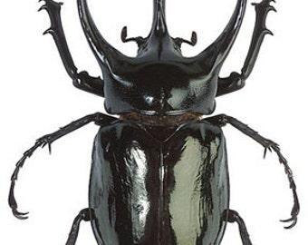 OVERSTOCK: Giant Scarab Beetles, Chalcosoma atlas