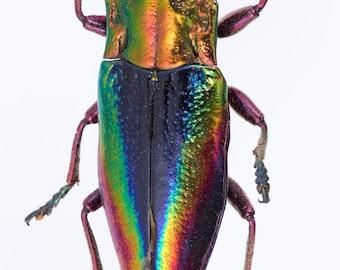 Real Metallic Rainbow Jewel Beetle, Cyphogastra javanica Unmounted