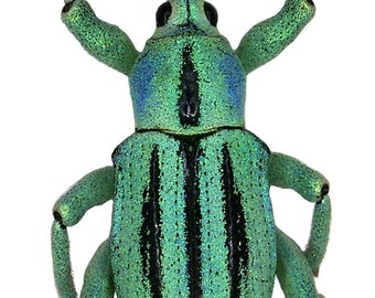 Real Turquoise Weevil Beetle, Eupholus cuvieri
