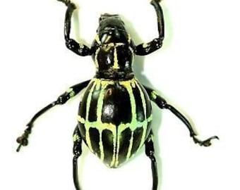 Jewel Weevil, Pachyrrhynchus phaeleratus, Real Dried Beetle Insect Unmounted