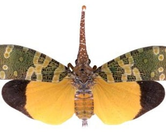 OVERSTOCK: Real Lanternfly, Pyrops candelaria  WINGS CLOSED