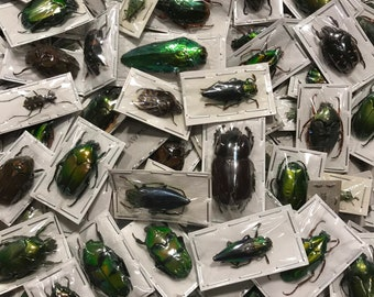 OVERSTOCK: Mixed Real Beetles, Package of 5