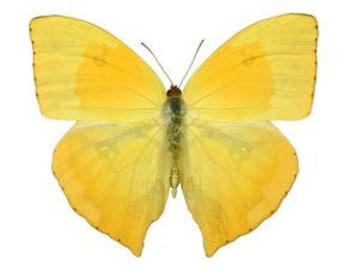"""Real Phoebis rurina """"Tailed Sulphur"""" Butterfly, spread for your project or laminated or unmounted"""