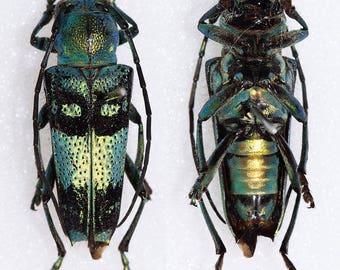 Pretty Longhorned Beetle, Glenea celestis
