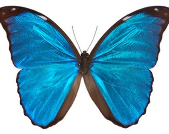 SECONDS A1-, Morpho menelaus, Butterfly, spread for your project or laminated or unmounted
