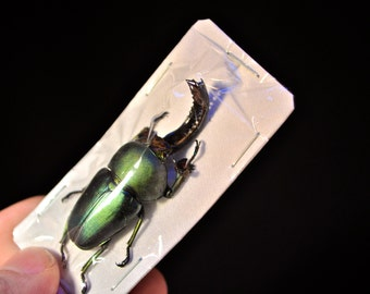 OVERSTOCK: Sawtooth Beetle Males or Pairs  Lamprima adolphinae