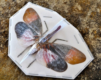 OVERSTOCK: Real Lanternfly, Pyrops sultana