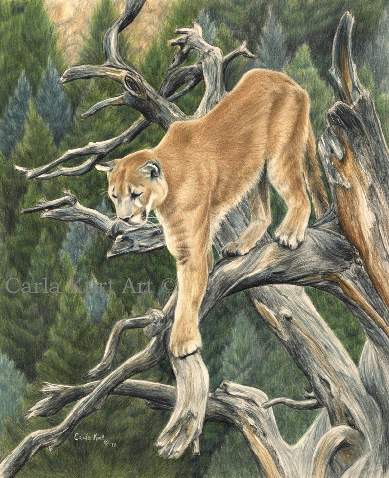 Signed Print Mountain Lion 11x14 Cougar Art Wildlife Nature Etsy