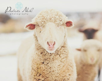 Snow Sheep Series 4