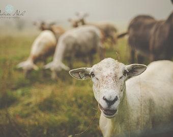 Maine Sheep Series 2