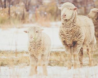 Snow Sheep Series 2