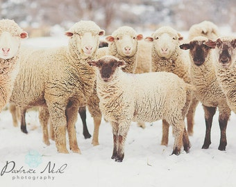 Snow Sheep Series 5