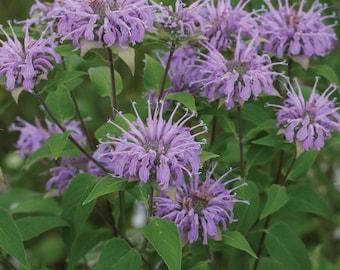 Bee Balm / Wild Bergamot /  /100+ Seeds Perennial