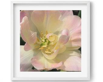 Sunshine Tulip photograph