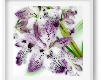 Purple Oncidium