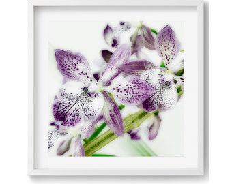 Purple Oncidium 2