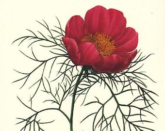 Peony botanical print by Pierre Redoute, Poenia tenufolia, red peony, a printable digital download, no. 745