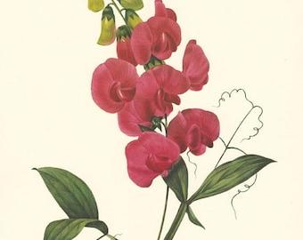vintage botanical print, Bright Red Sweet Pea, a vintage printable digital image,  no. 712