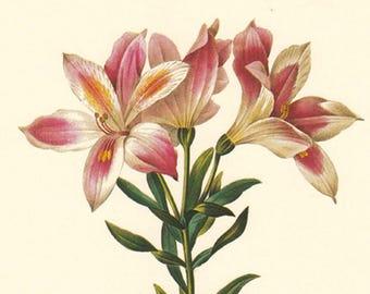 vintage botanical print by Pierre Redoute, Alstroemeria peligrina, printable digital image no. 744
