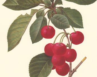 vintage botanical print by Pierre Redoute, Cerisier Royal, Red Cherries, printable digital download no. 735