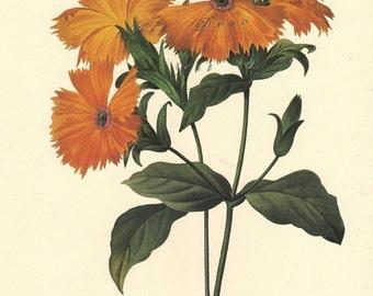 vintage botanical print by Pierre Redoute, Orange Lychnis, printable digital image no. 1540