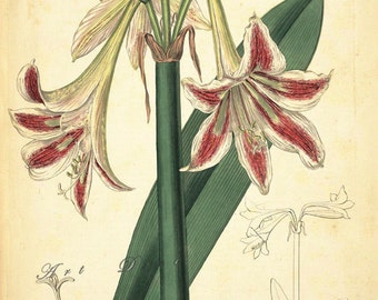 antique botanical print,  printable digital collage sheet,  no. 1624