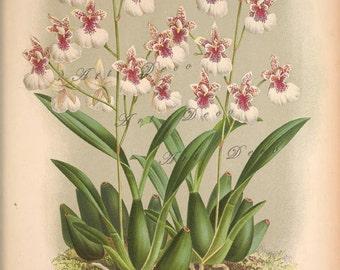 antique orchid print, a vintage printable digital image, no. 1309